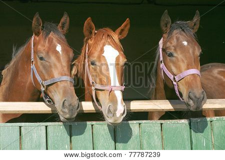 Beautiful Thoroughbred Mares At The Barn Door