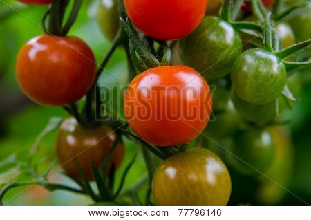 Small Tomatoes On The Vine