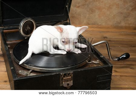 Six weeks old little chihuahua puppy sitting on an antique gramophone