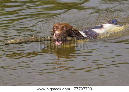 Springer Spaniel Dog Fetching Stick