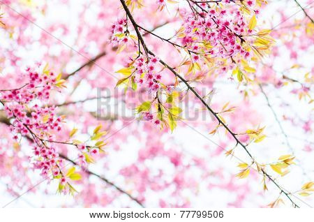 Pink Cherry Blossoms Trees With Sunny Day