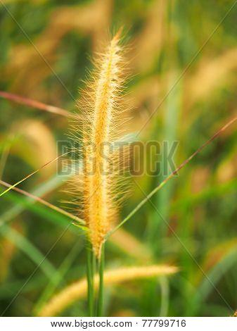 Beautiful Pampass Grass Background With Sunset In Koh Lipe