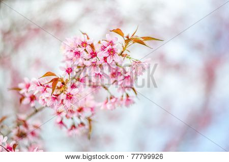 Pink Cherry Blossoms Tree With Blur Background