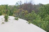 picture of quicksand  - Trees covered by sand from a shifting sand dune - JPG