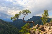 stock photo of pieniny  - pine most famous tree in Pieniny Mountains Poland - JPG