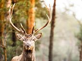 picture of jousting  - Majestic powerful adult male red deer stag in autumn fall forest - JPG