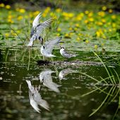 pic of tern  - common terns in natural habitat  - JPG