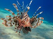 stock photo of lion-fish  - Common Lionfish - JPG