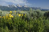 pic of blacktail  - Grand Tetons from around the Blacktail Butte - JPG