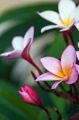 image of plumeria flower  - flowers of Plumeria - JPG