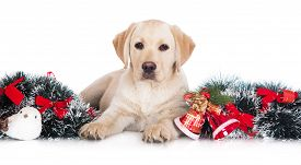 picture of puppy christmas  - labrador retriever puppy with Christmas decoration on white - JPG