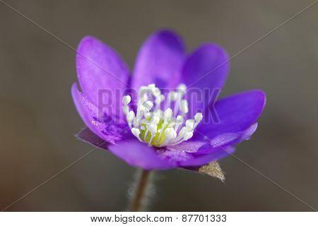 Single Blue Anemone Closeup