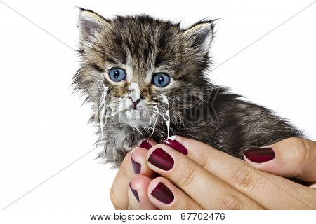 Little Kitty In The Human Hands