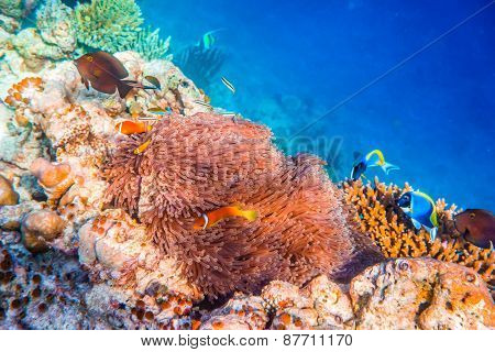 Topical saltwater fish ,clownfish - Anemonefish. Maldives - Ocean coral reef. Warning - authentic shooting underwater in challenging conditions. A little bit grain and maybe blurred.