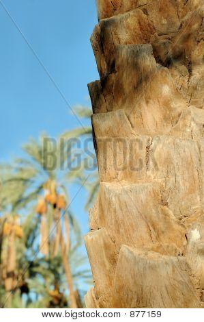 Tronco de árbol de Palma Closeup