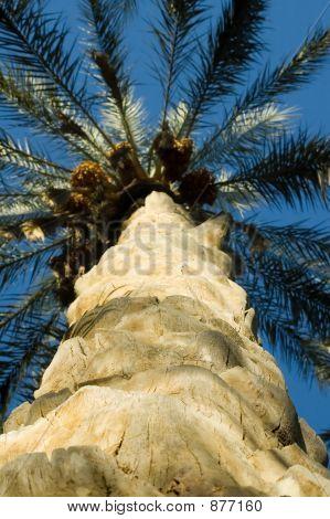 Tronco de palmera desde abajo