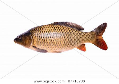 Carp Fresh Raw Fish Isolated On White Background, Clipping Path