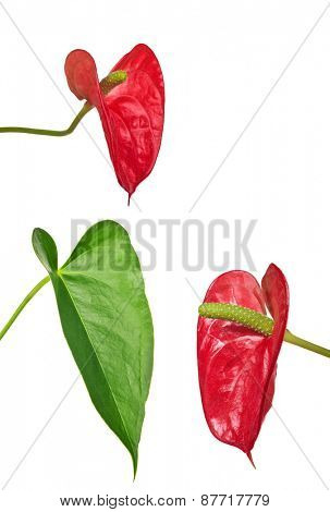 red anthurium flowers and green leaf isolated on white background