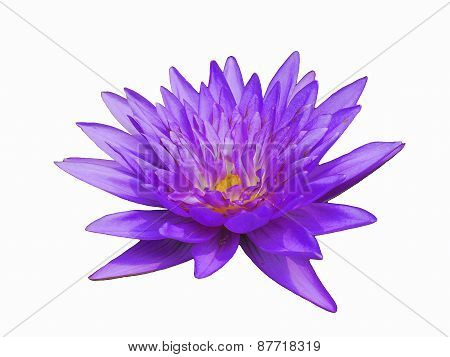 The Purple Lotus so Cute in Thai on The White Background