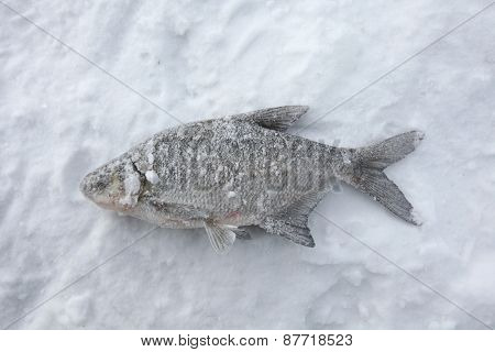 Fish catch of freshwater bream (Abramis brama) on ice during ice fishing in Yekaterinburg, Russia.