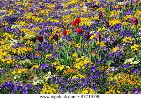 Field of Pansies