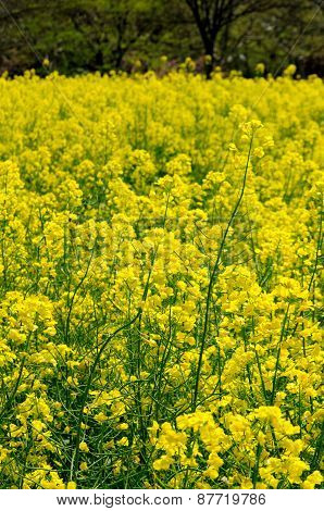 Yellow Rapeseed Flowers Blooming