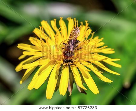 Honey bee on spring dandelion. Shallow depth of field.