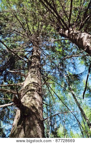 Thick Tree Trunks In Forest On Sunny Summer Day View From Below