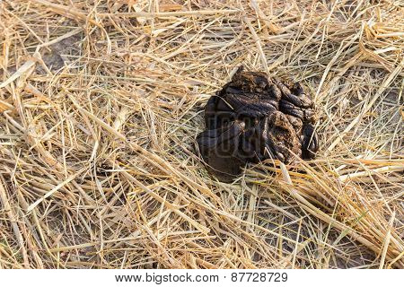 Cow Feces On Dried Rice Paddy Field