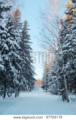 Forestwith High Trees And Ski Track With White Snow At Sunny Winter Day