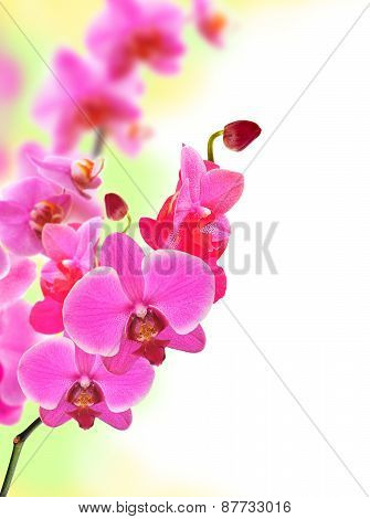 Beautiful Flower Orchid Pink Phalaenopsis Close-up