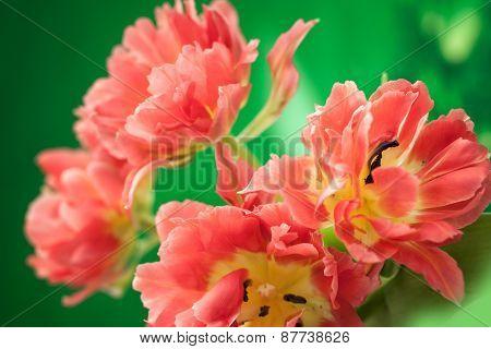 Beautiful red double peony tulip