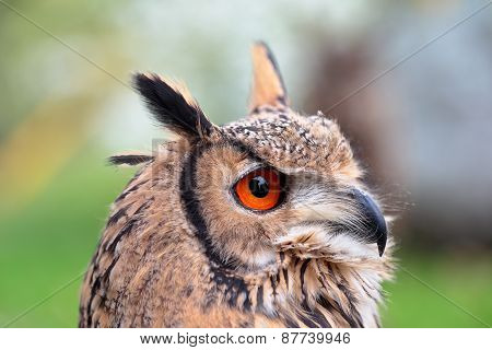 Portrait Of An Indian Eagle-owl