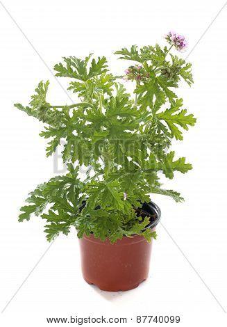 Pelargonium Citronnellum