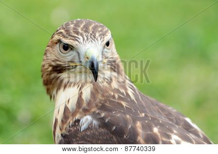 Red-tailed Hawk Looking At Camera