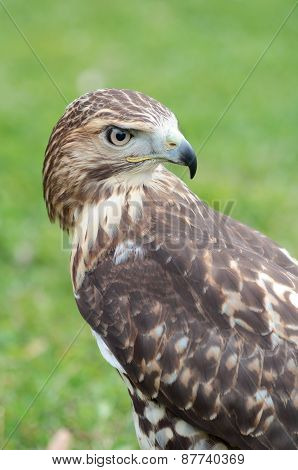 Red-tailed Hawk Looking At Behind