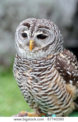 Barred Owl Looking Ahead