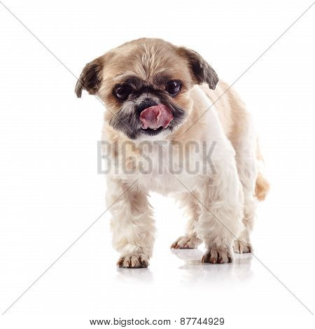 The Decorative Licking Lips Doggie Of Breed Of A Shih-tzu