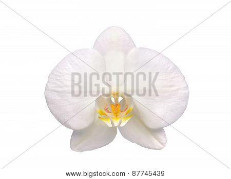 Beautiful Flower Orchid, White Phalaenopsis Isolated On White Background