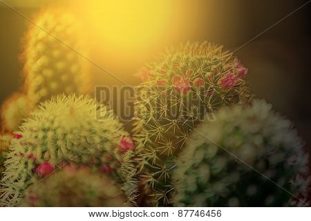 Macro Of Cactus Flower Blooming In Sunset Light 2
