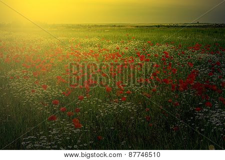 Landscape With Poppies And Chamomile In Sunset Light 4