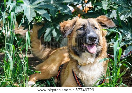 Beautiful Brown Dog Resting On Grass. Outdoor Portrait