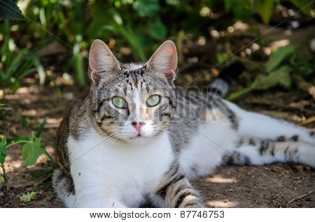 Beautiful Grey And White Cat Enjoy Noon Sunshine In Garden
