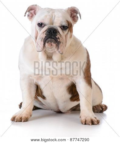 dog with muddy feet - bulldog sitting on white background