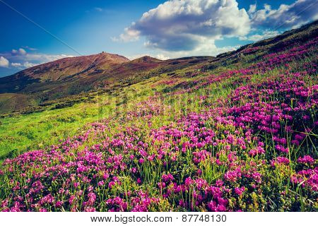 Great view of the magic pink rhododendron flowers on hill. Dramatic scene. White cumulus clouds. Carpathian, Ukraine, Europe. Beauty world. Retro style, vintage soft filter. Instagram toning effect.