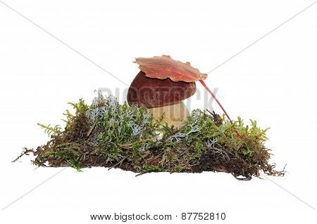 A cep mushroom and a aspen leaf on the top of it, grown into the moss, isolated on white.