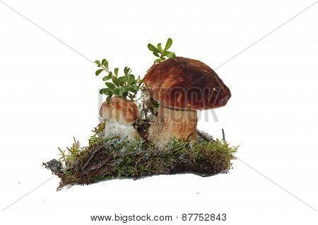 Two cep mushroom and twig cranberries grown into the moss, isolated on white