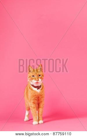 red cat in studio on pink background