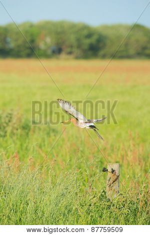 bar-tailed godwit flying above meadows
