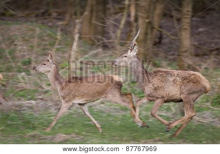 Red Deer And Hind Running